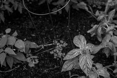 looking down, basil leaves, tomato cage, clover, Asheville, NC, Nikon D3300, mamiya sekor 45mm f-2.8, 6.8.19 (steve aimone) Tags: lookingdown leaves basil clover tomatocage earth garden asheville northcarolina nikond3300 mamiyasekkor45mmf28 mamiyaprime primelens monochrome macro monochromatic blackandwhite