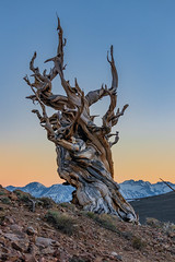 Bristlecone Pines at Dusk (Pinus Longaeva) (RS2Photography) Tags: pinuslongaeva tree gnarly twisted sky whitemountains ancientbristleconepines wood stone ross rossstone rs2photography naturephotography nature colors dusk mountains landscape beauty earth canonusa canon80d canon california sierras sierranevada discoverytrail bristleconepines bristlecone