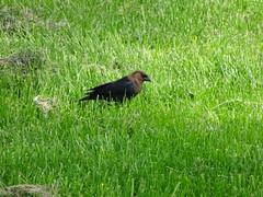 Brown-headed Cowbird (Roger Inman) Tags: westsidepark champaignparkdistrict champaign animal bird brownheaded cowbird