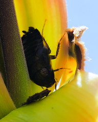 Cockroach in Shagbark Hickory Bud (Roger Inman) Tags: fugatewoodsnaturepreserve animal insect cockroach plant tree bud shagbark hickory livingstoncounty