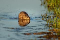Muskrat-45213.jpg (Mully410 * Images) Tags: reflection 180thstreetmarsh mammal water marsh muskrat