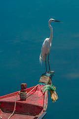 Igret on thai boat (Thaiexpat) Tags: 100400 2x a9 igret pattaya sony thailand boat water bird
