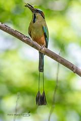Turquoise Browed Motmot (Mario Arana G) Tags: 7d ave bird cr canon costarica florayfauna guanacaste marioarana nature naturephotography photography turquoisebrowedmotmot wildlife
