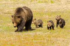 Following the leader (ChicagoBob46) Tags: grizz grizzly grizzlybear bear cub cubs yellowstone yellowstonenationalpark nature widlife ngc coth5 naturethroughthelens npc