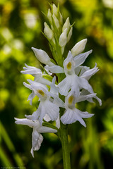 Common Spotted Orchid (Dactylorhiza fuchsii var. albiflora) (BiteYourBum.Com Photography) Tags: dawnandjim dawnjim biteyourbum biteyourbumcom copyright©2019biteyourbumcom copyright©biteyourbumcom allrightsreserved uk unitedkingdom gb greatbritain england canoneos7d canonefs60mmf28macrousm canonmacrotwinlitemt26exrt apple imac5k lightroom6 ipadair appleipadair camranger manfrotto055cxpro3tripod manfrotto804rc2pantilthead loweproprorunner350aw southdowns southdownsnationalpark fairmilebottom fairmilebottomlnr westsussex sussex arundel common spotted orchid dactylorhiza fuchsii varalbiflora commonspotted dactylorhizafuchsii commonspottedorchid dactylorhizafuchsiivaralbiflora