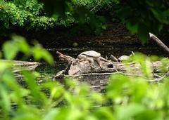 DSC07832b (Naturecamhd) Tags: dschx90v hx90v newyorkbotanicalgarden nybg botanicalgarden nature bronx green eco sonyhx90v thebronx sonydschx90v twinlakes reptile conservation widlfe snappingturtle