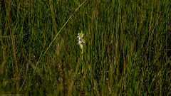 Early Marsh Orchid (Dactylorhiza incarnata subsp.pulchella var. ochrantha) (BiteYourBum.Com Photography) Tags: dawnandjim dawnjim biteyourbum biteyourbumcom copyright©2019biteyourbumcom copyright©biteyourbumcom allrightsreserved uk unitedkingdom gb greatbritain england canoneos7d canonefs60mmf28macrousm sigma50500mmf4563dgoshsm apple imac5k lightroom6 ipadair appleipadair camranger zerenestacker manfrotto055cxpro3tripod manfrotto804rc2pantilthead loweproprorunner350aw southdowns southdownsnationalpark thursleycommonnationalnaturereserve thursley thursleycommon thursleycommonnnr early marsh orchid dactylorhiza incarnata subsppulchella earlymarsh dactylorhizaincarnata earlymarshorchid dactylorhizaincarnatasubsppulchella dactylorhizaincarnatasubsppulchellavarochrantha varochrantha