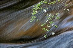 Dogwood Flow (Kirk Lougheed) Tags: california mercedriver pohonobridge usa unitedstates yosemite yosemitenationalpark yosemitevalley dogwood flower landscape longexposure nationalpark outdoor park river spring tree water