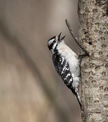 Pic mineur // Downy Woodpecker (Alexandre Légaré) Tags: pic mineur downy woodpecker picoides pubescens oiseau bird avian animal wildlife nature nikon d7500 marais sherbrooke swamp stfrancois realdcarbonneau