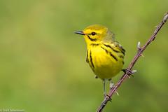 CA3I4650-Prairie Warbler (tfells) Tags: prairiewarbler songbird passerine newjersey bird nature wildlife setophagadiscolor