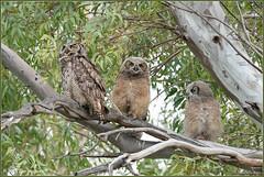 Great Horned Owl Family 5354 (maguire33@verizon.net) Tags: greathornedowl bird owl owlet wildlife