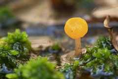Beekmijtertje - (Mitrula paludosa) - Drongergoed - Belgium (wietsej) Tags: beekmijtertje mitrula paludosa drongergoed belgium a7rii a7rm2 sel100f28gm 100 mm macro bokeh mushroom paddenstoel fungus sony