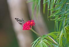 Zebra Heliconian (Heliconius charithonia) - Holguín Province, Cuba - Feb 2019 (Dis da fi we) Tags: zebra heliconian heliconius charithonia holguín province cuba
