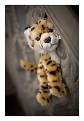 Kidogo Kidogo (xockisfriends) Tags: kidogo kidogokidogo gepard cheetah guépard cat cute play residenz würzburg wolfiwolf anonymousvisitor visit arminfuchs thomaslistl running lavillelaplusdangereuse diagonal