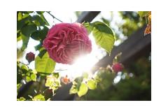 Enjoying the evening light and the smell of the first roses in my garden (balu51) Tags: garten abend abendlicht gegenlicht sonne rose rosa pink climber backlight evening eveninglight sun garden summer juni 2019 copyrightbybalu51