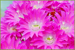 Cactus Color (tdlucas5000) Tags: cactusflowers cactus flower flowers pink california d850 sigma105 focusstack zerene echinopsis macro closeup