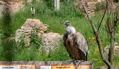 Vautour fauve (balese13) Tags: 16300 d5500 labarben nikonpassion tamronaf16300mmf3563dillvcpzdmacrob016 accipitridés balese nikon oiseau pixelistes tamron vautour zoo yourbestoftoday 500v20f 1000v40f 1500v60f