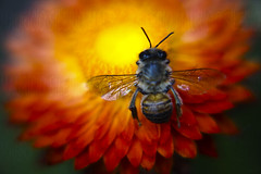 ephimeral life (Mau Silerio) Tags: bee fleur flower fiore colorful nature plant insect closeup macro sony alpha