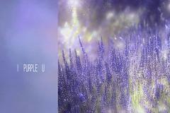23/52. Purple :-) (Small and Beautiful) Tags: lavender purple beauty light field words bokeh