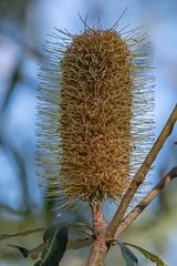 Exploring the Tiligerry Habitat - Yellow Banksia (Merrillie) Tags: nsw plant banksia tiligerryhabitat flora flower nature australia greenery outdoors portstephens bloom yellow naturereserve newsouthwales