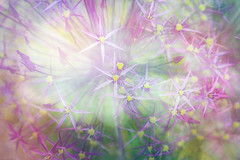 Allium head (judy dean) Tags: judydean 2019 garden allium flower sliderssunday purple textures ps bokeh