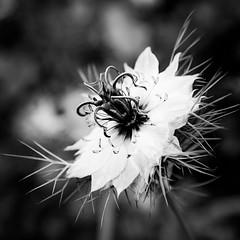Nigella (judy dean) Tags: garden judydean june 2019 35mm flowers nigella loveinamist white bw