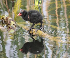 First Steps (Kevin Pendragon) Tags: moorhens chick bird black feathers water reflections reeds nature naturephotography glastonbury abbey pond sun sunshine outdoors outside sky blue clouds feet red light shadows green