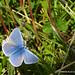 Common Blue (M)
