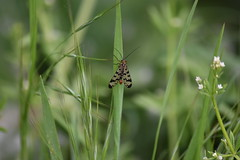 Panorpa ♂ (esta_ahi) Tags: riudefoix santmartísarroca penedès barcelona spain españa испания panorpa panorpidae mecoptera insectos fauna