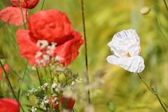 Le coquelicot blanc (Croc'odile67) Tags: flowers nature fleurs nikon contemporary sigma poppies coquelicots d3300 18200dcoshsmc