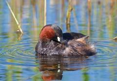 Little Grebe (John Assheton) Tags: bird grebe littlegrebe northnorfolk nwt