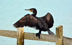 CORMORANT at GRAFHAM (11birdman11) Tags: britishbirds birds butterflies bugs moths mammals