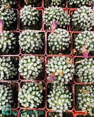 Mammillaria bertholdii (Leo_González_Suculentia_Nursery) Tags: mammillaria cactus kaktusi kakteen