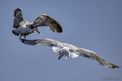 Goélands_5090 (Luc Barré) Tags: goéland goélands oiseau oiseaux bird birds sky ciel mer sea égée mykonos grèce ile île îles island cyclades poisson poissons fish