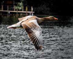 Passing_ (Wez1200) Tags: bird flying lakedistrict goose derwentwater