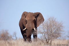 Blue Skies (leendert3) Tags: leonmolenaar wildlife southafrica krugernationalpark naturereserve naturalhabitat wildanimal wilderness africanelephant ngc npc naturethroughthelens