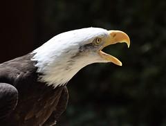 Bald Eagle #3 (MJ Harbey) Tags: bird eagle birdofprey baldeagle haliaeetusleucocephalus aves accipitriformes accipitridae haliaeetus hawkconservancytrust weyhill andover hampshire nikon d3300 nikond3300