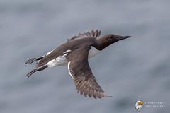 Guillemot (Simon Stobart) Tags: guillemot uria aalge north east england uk flying