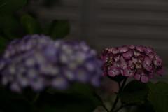PS1R6319 (Zengame) Tags: lumix hydrangea hakusan lmount hakusanshrine lマウント lumixs24105mm lumixs24105mmf4macroois lumixs lumixs1r dcs1r lumixs24105mmf4 flower japan zeiss tokyo sony panasonic 日本 東京 アジサイ rx 紫陽花 白山神社 s1r ソニー rx1 白山 日本japan パナソニック ルミックス ツアイス sonnart235 rx1r sonydscrx1rsonnart235 sr24105 花 東京都