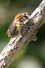Andrena haemorrhoa (f)