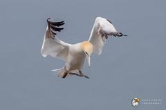 Gannet (Simon Stobart) Tags: gannet morus bassanus flying north england uk
