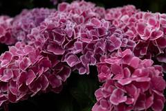 PS1R6277 (Zengame) Tags: dcs1r hakusan hakusanshrine hydrangea lmount lumixs lumixs24105mm lumixs24105mmf4 lumixs24105mmf4macroois lumixs1r lumix lマウント panasonic rx rx1 rx1r sr24105 s1r sonydscrx1rsonnart235 sonnart235 sony zeiss flower japan tokyo アジサイ ソニー ツアイス パナソニック ルミックス 日本 日本japan 東京 白山 白山神社 紫陽花 花 東京都