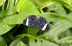 Vacances_0911 (Joanbrebo) Tags: mainau konstanz badenwürttemberg de deutschland canoneos80d eosd autofocus butterfly mariposa papallona papillon farfalle