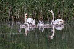 Swan family outing (Graeme Andrews) Tags: green stodmarshreserve muteswan cygnet naturephotographer naturereserve wildlifeofbritain wildlifephotographer pentaxk1ii sigma150500mmapodghsmf563