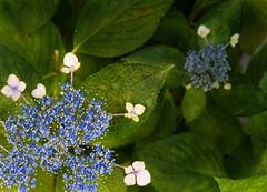 Kyoto Hydrangea (Tim Ravenscroft) Tags: hydrangea ajisai kyoto japan flower blue hasselblad hasselbladx1d
