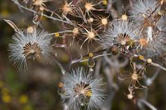 Natural art (jeans_Photos) Tags: goonapping dobaderryswamp wandoonationalpark westernaustralia asteraceae