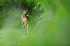 Roe Deer Doe (Alan MacKenzie) Tags: doe wildlife nature telephoto canon animal wild roedeer deer