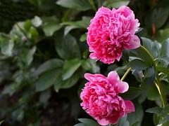 Glowing Raspberry Rose (natali22206) Tags: glowing raspberry rose glowingraspberryrose пионы пион peonies flowers garden