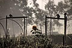 Three feathered friends. (Ian Ramsay Photographics) Tags: camden newsouthwales australia kookaburra topknotpigeon fog landscape feathered friends warm laugh rays sun filter
