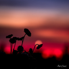 After sunset (Magda Banach) Tags: nikond850 springflowers colors daisies dramatic flora flower macro nature outdoor outside plants poland redrose spring sunset